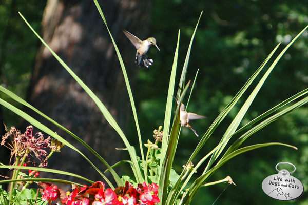Two hummingbirds battle.