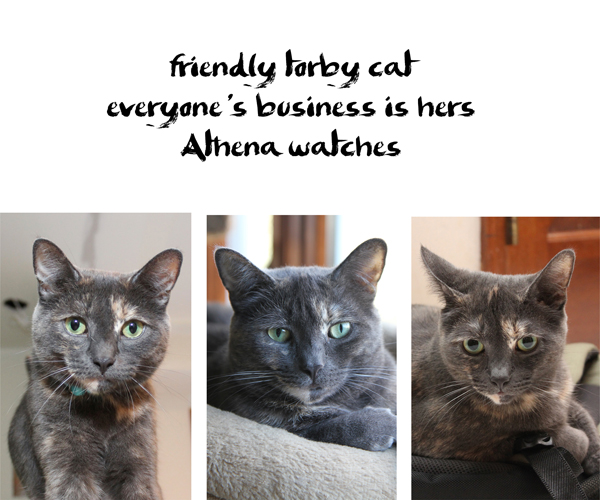 Haiku by Cat: friendly torby cat / everyone's business is hers / Athena watches