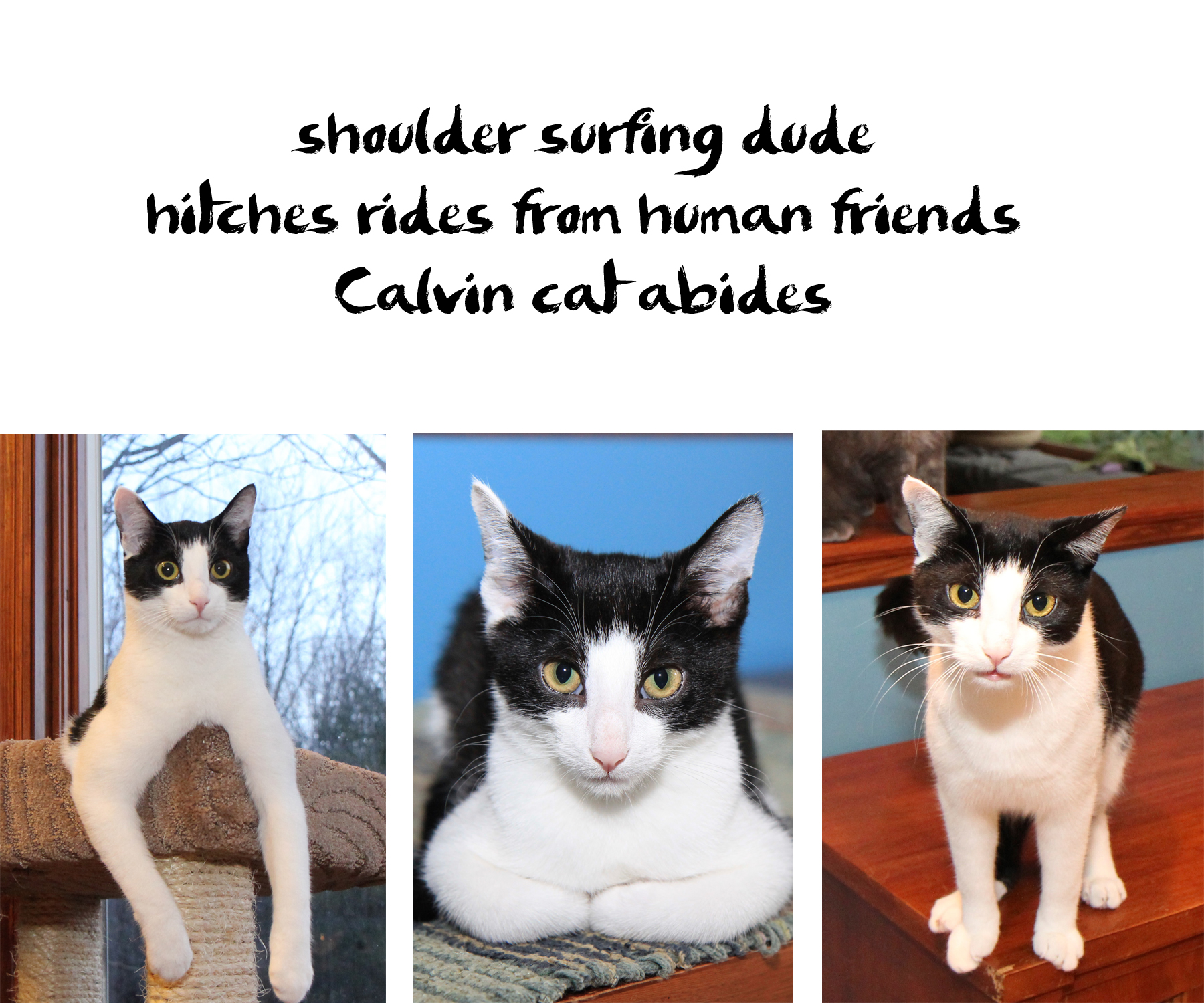 Calvin cat haiku : shoulder surfing dude / hitches rides from human friends / Calvin cat abides