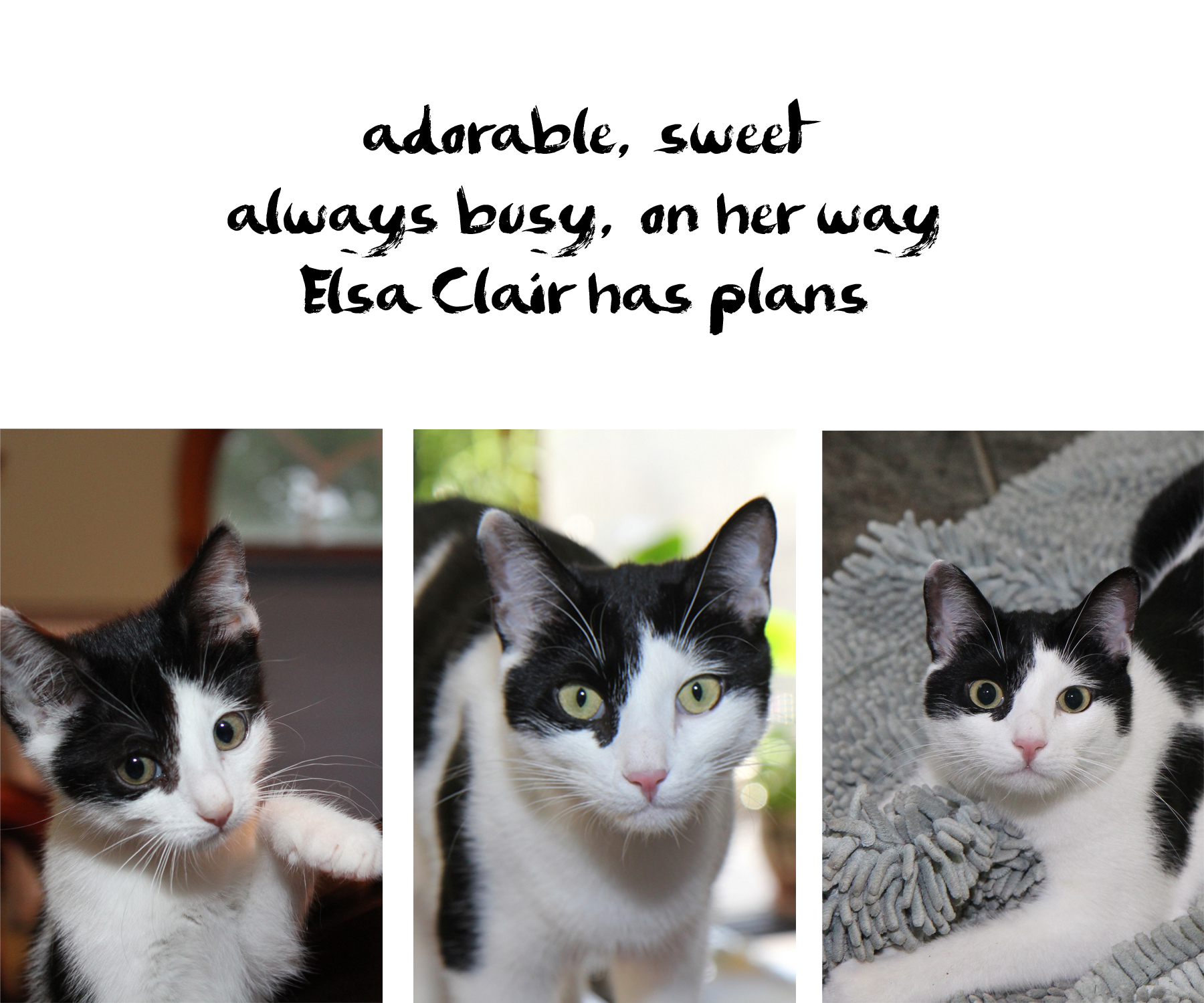 Elsa cat haiku : adorable, sweet / always busy, on her way / Elsa Clair has plans