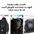 Haiku by Dog: border collie smarts / sweet, playful and dark as night, Lilah cares for all
