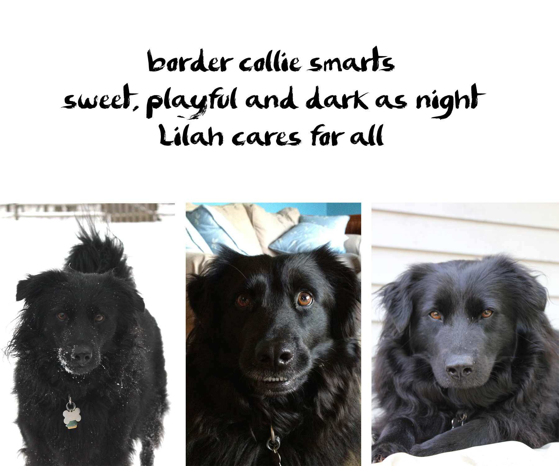 Lilah dog haiku: border collie smarts / sweet, playful and dark as night / Lilah cares for all