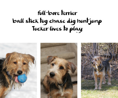 Tucker dog haiku: full-bore terrier / ball stick chase dig hunt jump / Tucker lives to play