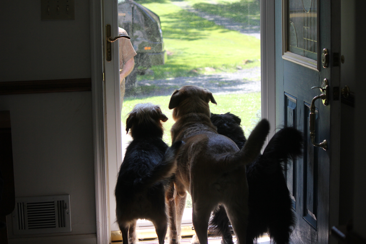 3 dogs at the door waiting for the UPS guy