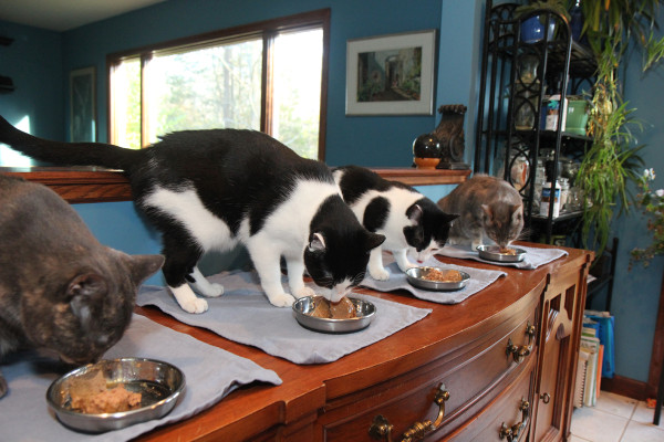 4 cats eating