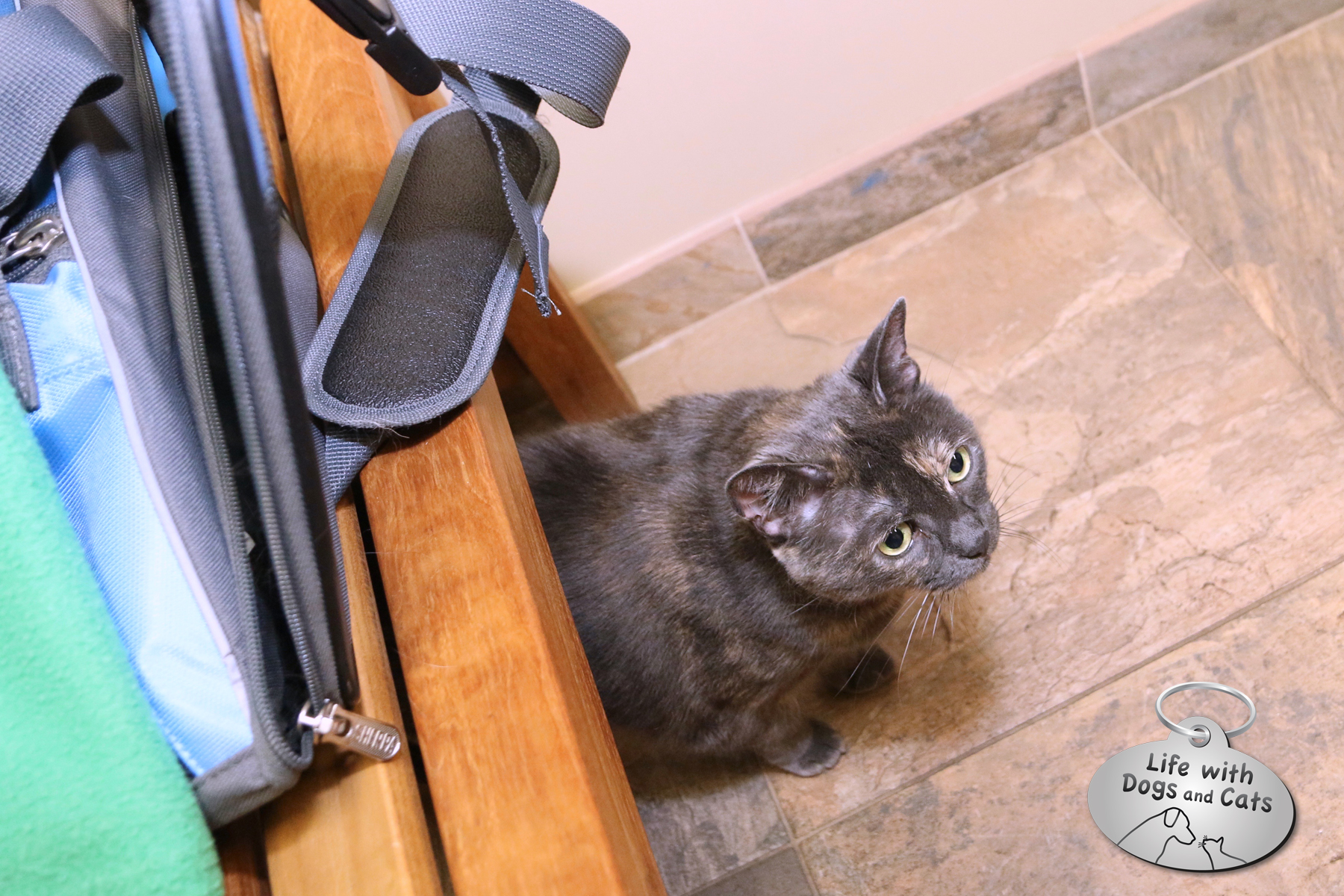 Athena at the vet: Take Your Cat to the Vet Day #Cat2VetDay