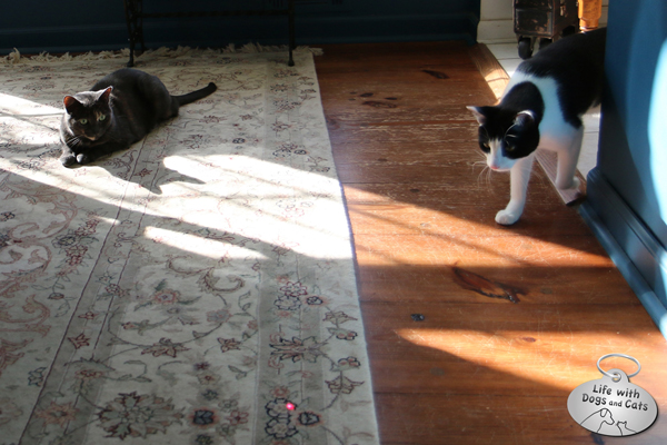 Athena cat watches Calvin play with Calvin plays with FroliCat BOLT automatic cat laser toy