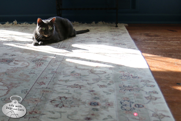Athena watches red dot  from FroliCat BOLT laser cat toy