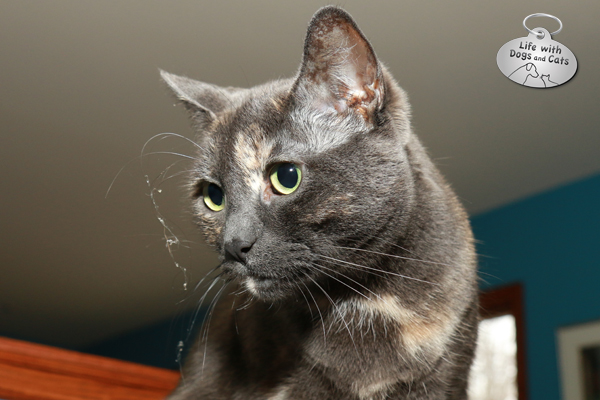 Athena, the cat from Life with Dogs and Cats, has some dust on her whiskers.