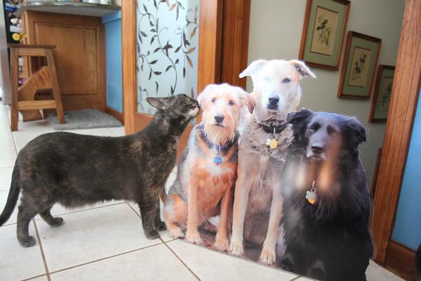 The cat investigates the flat pets.