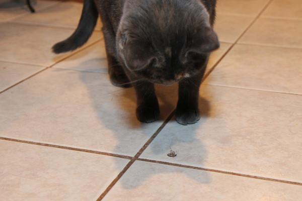 Cat staring at bug