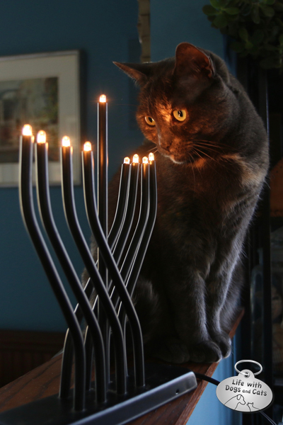 Athena is fascinated by the lights on the Hanukkah menorah.