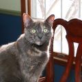Cat sitting in sun on dining room table