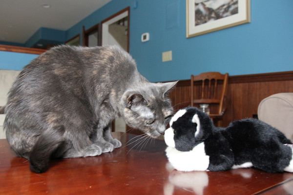 Cat sniffs stuffed cat