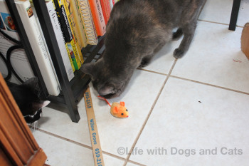 Athena cat looks for toys under the cabinet