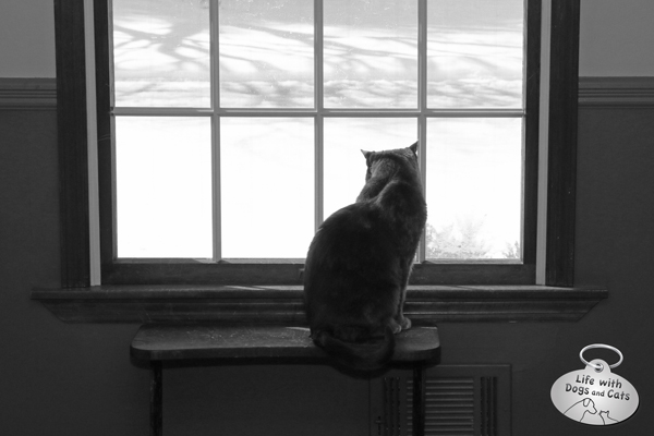 Athena cat looking at snow through window