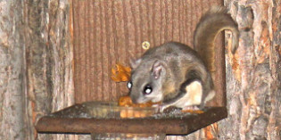 Gliding in the Night: A Visit from Flying Squirrels