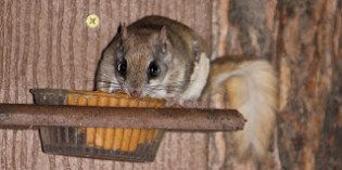Photos: Flying Squirrels Boris and Natasha