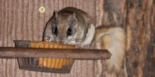 Photos: Flying Squirrels Boris and Natasha