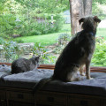 2 cats and a dog look out the window together