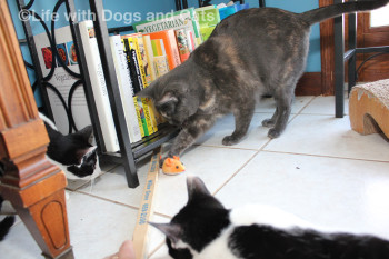 Three cats look for toys