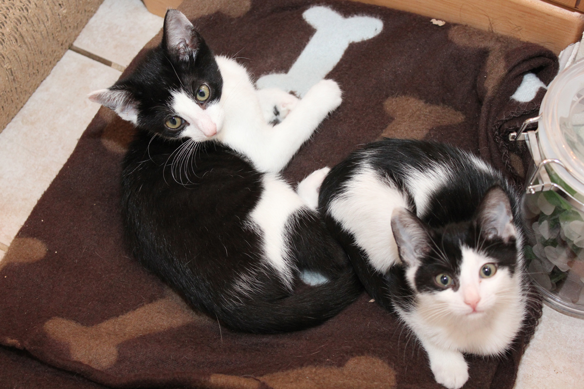 Life with Dogs and Cat: Calvin and Elsa Clair when they first arrive as kittens