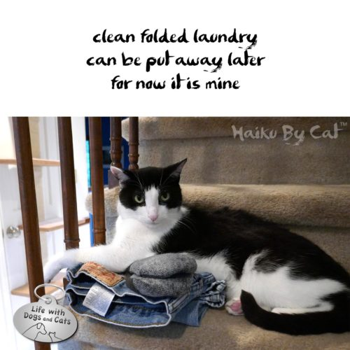 clean folded laundry / can be put away later / for now it's mine #HaikuByCat #Haikusday #Micropoetry