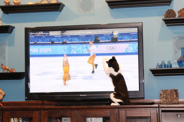 Calvin the Olympic figure skating cat.