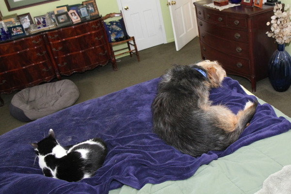 Cat and dog on bed