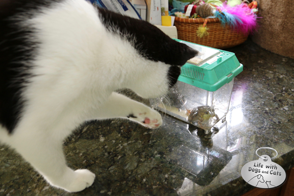My cat Calvin meets a green frog.
