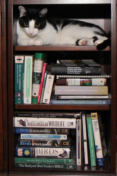 cat in a bookcase