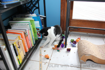 Calvin the cat finds toys under the bookcase.