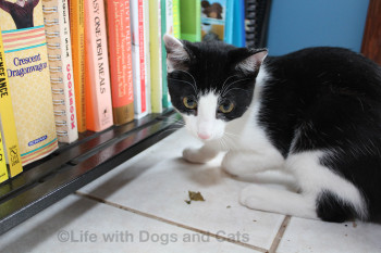 Calvin the cat by the bookcase