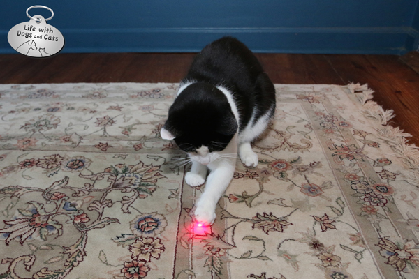 Calvin plays with laser FroliCat BOLT electronic cat toy