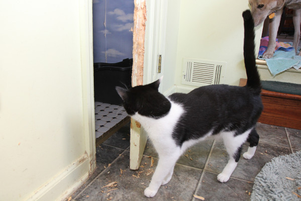 Cat inspects damaged door.