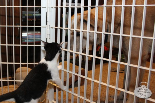 Jasper noses kitten Calvin, an interaction made safe with the kitten in a pen.