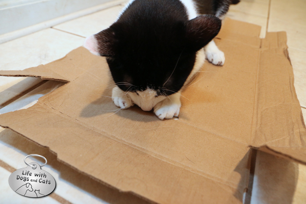 I would not have thought that a flat box was a fun toy, but after Tucker flattened a box, Calvin thought it was so much fun to dig at the holes. So of course, I put a ruler underneath, and he had a blast chasing it.