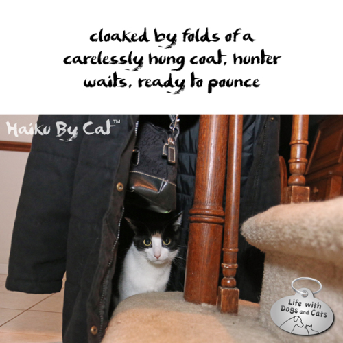 Haiku by Cat: cloaked by folds of a / carelessly hung coat, hunter / waits, ready to pounce