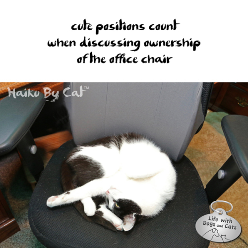 Haiku by Cat: cute positions count / when discussing ownership / of the office chair