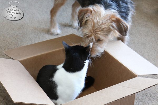 Dog checks on cat in box