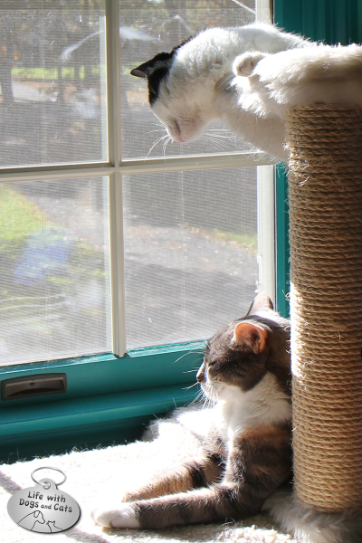 Calvin looks down on Dawn, literally--featuring some of the cats from Life with Dogs and Cats