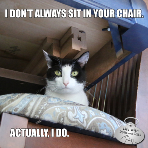 I don't always sit in your chair. Actually, I do.  — Calvin T. Katz, The Most Interesting Cat In The World.