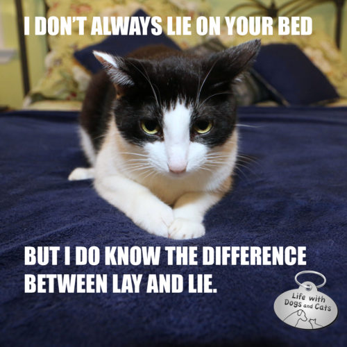 I don't always lie on your bed, but I do know the difference between lay and lie. #MostInterestingCatInTheWorld Most Interesting Cat In the World #StayComfy, my friend