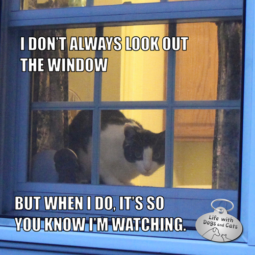I Don't Always Look Out The Window but when I do it's so you know I'm watching. Calvin T. Katz #MostInterestingCat