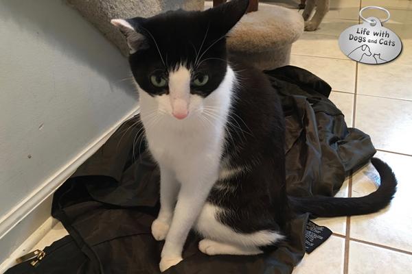 Calvin sits on my raincoat.