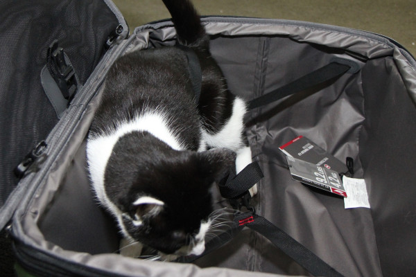 Calvin the cat gets tangled in the suitcase
