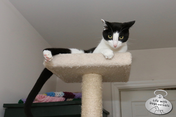 Calvin on top of the cat tree