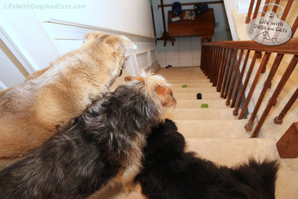 Jasper, Tucker and Lilah look down the stairs at a complete set of gifts left by Calvin. At this point, I didn't realize this was going to be a daily routine, so I didn't take pictures every day. Gift date: June 7, 2018