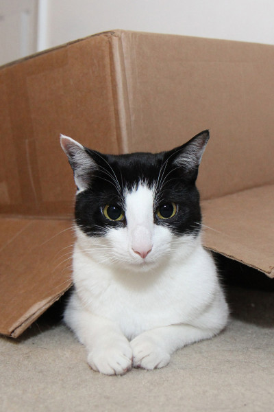 Calvin the cat sits under a box