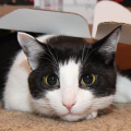 Calvin the cat hides under a box lid